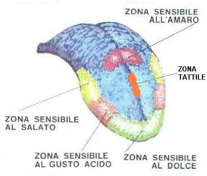 Le zone sensibili della lingua